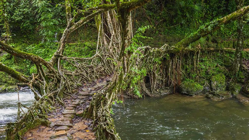Lebende Brücke im Meghalaya-Plateau in Indien