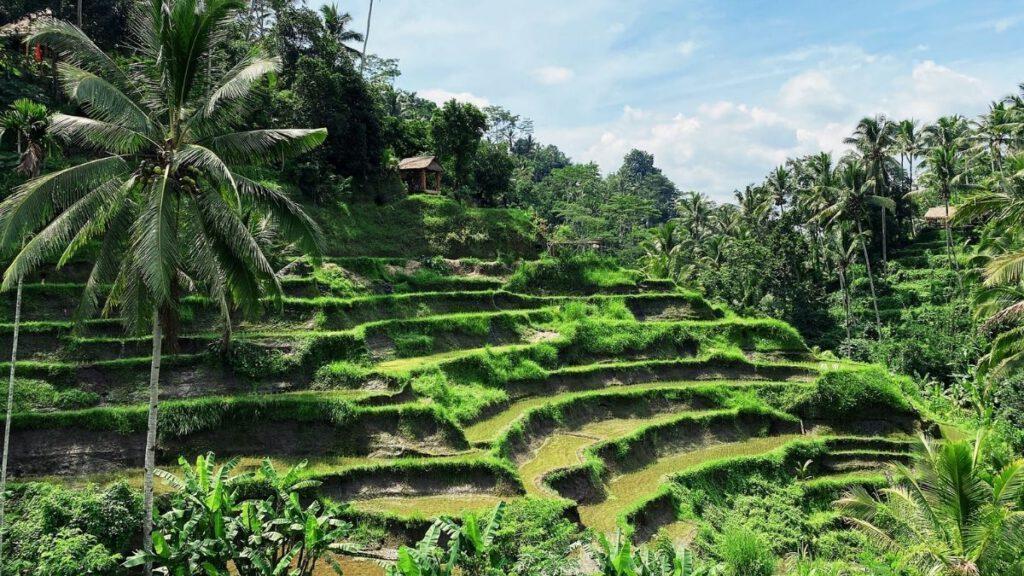 Reisfeld bei Ubud auf Bali